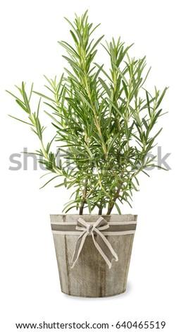 rosemary plant in vase isolated on white background #640465519