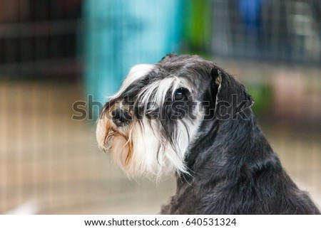 portrait of miniature schnauzer close up #640531324