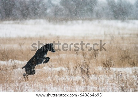 Black dog hunting in the winter in the snow. Walk the labrador. A pet #640664695