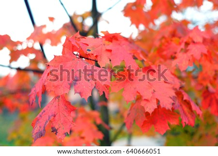 Autumn maple red leaves, can be used as a background. #640666051