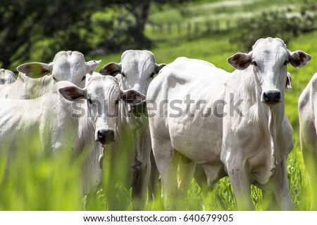 Herd of Nelore cattle grazing in a pasture Royalty-Free Stock Photo #640679905