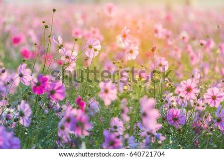 cosmos flowers in the garden #640721704