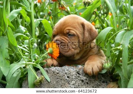 Dogue de Bordeaux puppy smells a flower #64123672
