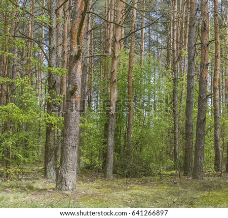Spring landscape with a pine forest. Nature in the vicinity of Kobrin, Belarus. #641266897