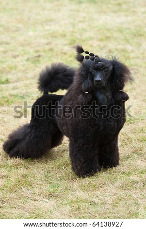 Black big poodle, on the green grass. #64138927