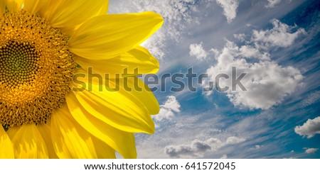 Sunflower flower on blue sky background close-up  #641572045