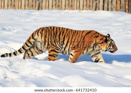 Wild siberian tiger on a morning walk. Animals in wildlife. #641732410