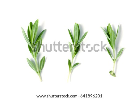 Sprig of fresh thyme isolated on a white background #641896201