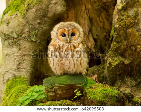 Tawny owl or brown owl (Strix aluco) is a stocky, medium-sized owl commonly found in woodlands across much of Europe and Asia. Several of the eleven recognised subspecies have both variants.