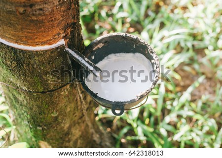 rubber plantation #642318013