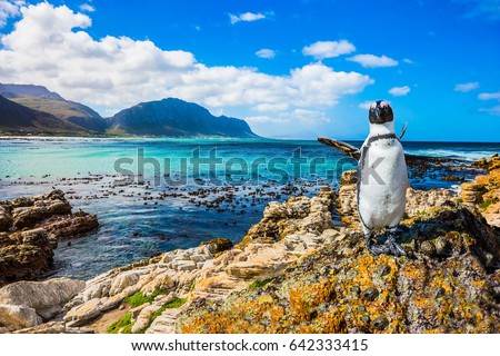 Fanny african black - white penguin on the beach of Atlantic.The boulders and algae. Boulders Penguin Colony National Park, South Africa. The concept of  ecotourism Royalty-Free Stock Photo #642333415
