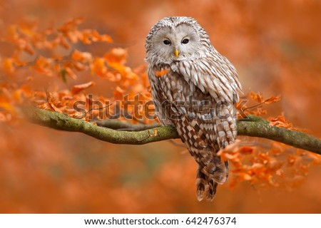 Autumn in nature with owl. Ural Owl, Strix uralensis, sitting on tree branch with orange leaves in oak forest, Norway. Wildlife scene from nature. Royalty-Free Stock Photo #642476374