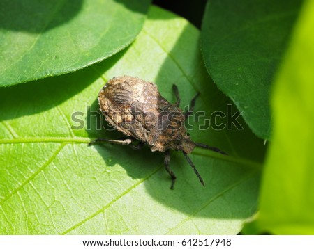 close up of brown marmorated stink bug crawling on green leaf under sunlight