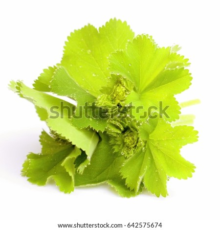 Lady's mantle on white background #642575674