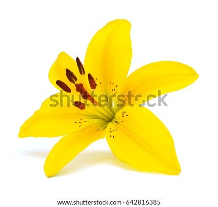 Yellow lily on a white background  #642816385