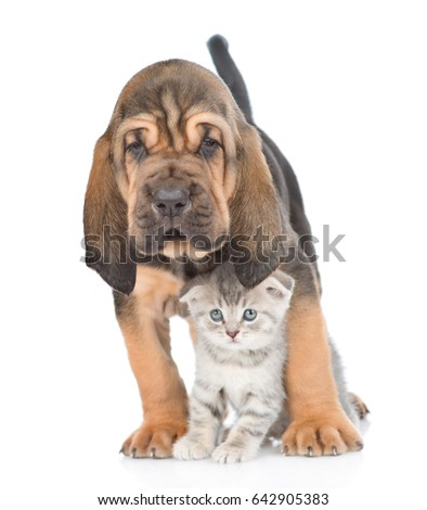 Bloodhound puppy and kitten standing together. isolated on white background #642905383