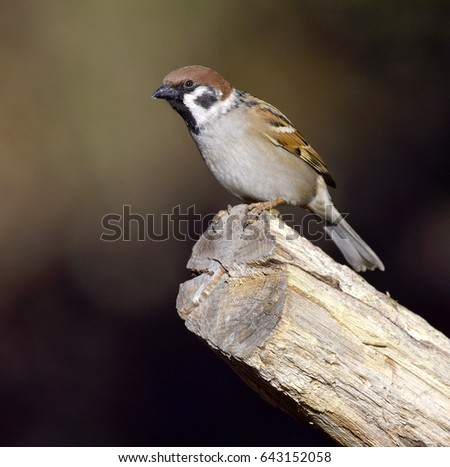 sparrow on a branch #643152058