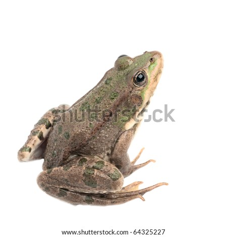 Green frog isolated #64325227