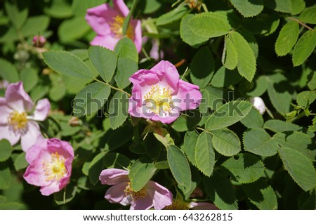 The pink flowers of a dog rose  #643262815