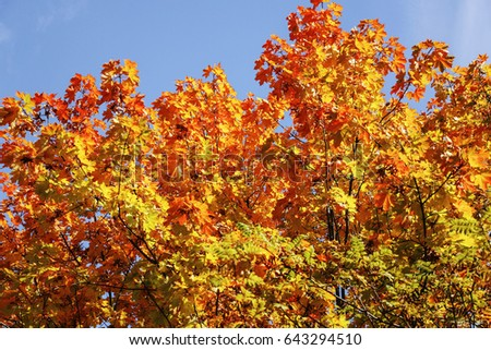 Maple tree with leaves of red and yellow colours on a sunny day #643294510