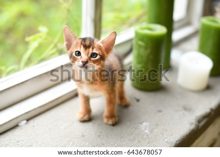 Abyssinian cute kitten on the windowsill Royalty-Free Stock Photo #643678057