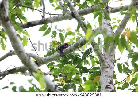 White-bellied woodpecker (Dryocopus javensis parvus) in Simeulue Island, western Sumatra, Indonesia #643825381