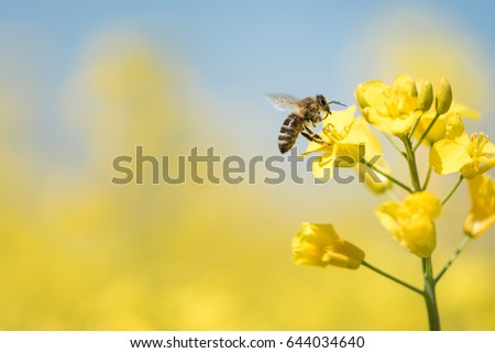 Honey Bee collecting pollen on yellow rape flower against blue sky #644034640