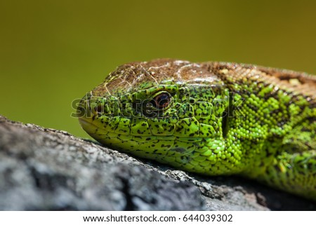 Nimble green lizard ( Lacerta viridis, Lacerta agilis ) closeup, basking on a tree under the sun.Male lizard in a mating season on a tree covered with moss and lichen. Reptile shot close-up #644039302