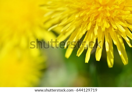 Closeup bright yellow dandelion flower spring, Macro photo. Soft focus. #644129719