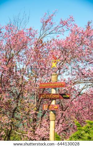 Cherry blossom park at Chiangmai province, Thailand. #644130028