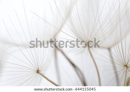 Close up macro image of dandelion seed heads with detailed lace-like patterns, on the Greek island of Kefalonia.
