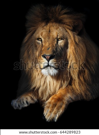 Lion geat king portrait at the sun isolated  #644289823