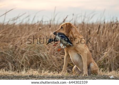 Labrador Retriever and Mallard Duck Royalty-Free Stock Photo #644302339