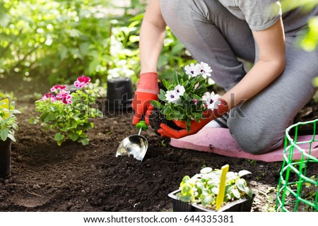 Gardener planting flowers in the garden, close up photo. #644335381