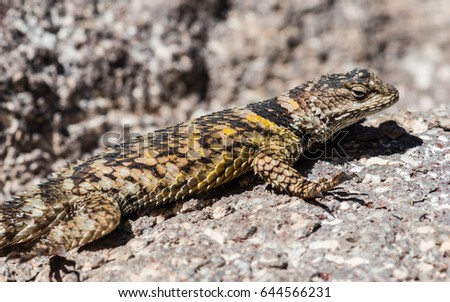 Crevice Spiny Lizard (Sceloporus poinsettii) #644566231