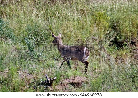 Waterbuck in  South Africa #644968978
