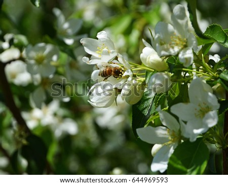 Blooming apple, large white flowers of apple, spring, flowering, bees, pollination of plants #644969593