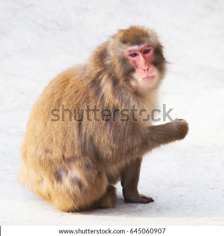 monkey sitting on the stone surface looks pensive and eats
