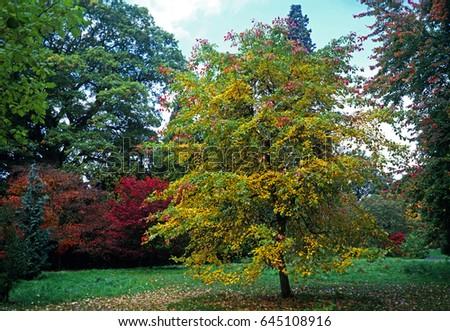 Nyssa sylvatica 'Tupelo' in Autumn colour at a Woodland Garden #645108916