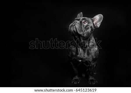 Portrait of Black French Bulldog on black background #645123619