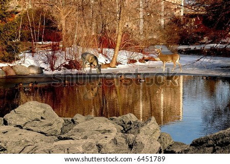 a picture of two dear with reflections on a pond in wisconsin