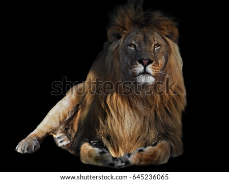Lion laying isolated at black #645236065