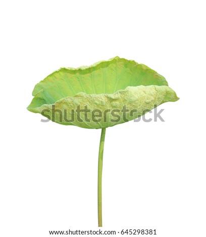 Lotus leaf isolated on white background. #645298381