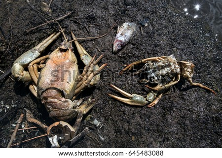 Ecological catastrophe The dead crayfish and fishes who have died from ecological disaster  #645483088