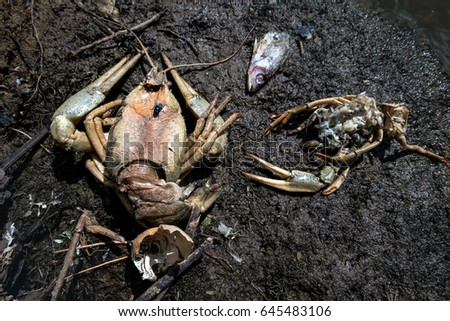The dead crayfish and fishes who have died from ecological disaster  #645483106