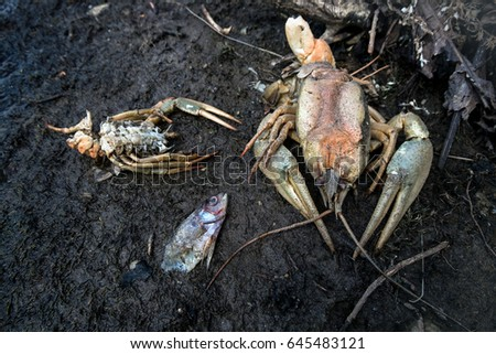 The dead crayfish and fishes who have died from ecological disaster  #645483121