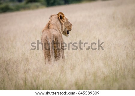 Lion standing in the high grass from behind in the Central Kalahari, Botswana. #645589309