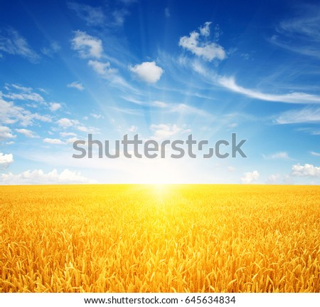 Wheat field and sun in the sky #645634834