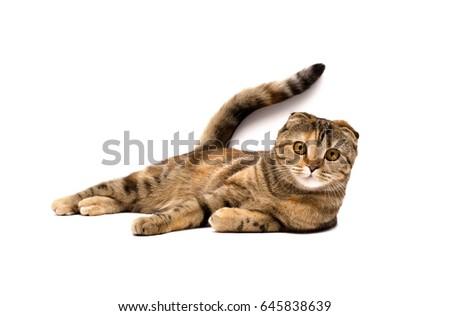 Scottish fold cat. #645838639