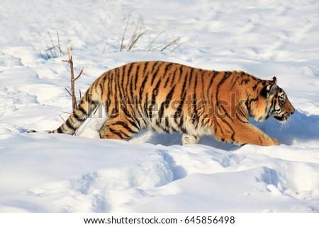 Wild siberian tiger on a walk. Animals in wildlife. #645856498